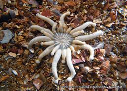 Anemonactis mazeli