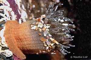 Anthopleura ballii