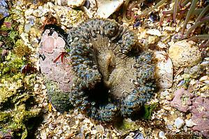 Cereus pedunculatus