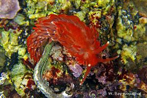 Aeolidiella sanguinea
