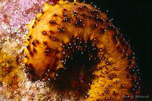Holothuria (Panningothuria) forskali