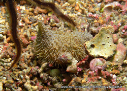 Pseudothyone raphanus