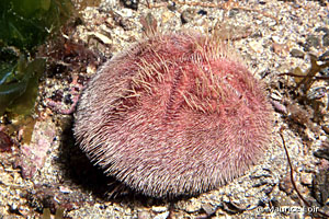 Spatangus purpureus