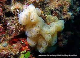 Botrylloides crystallinus