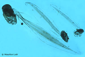 Oikopleura (Vexillaria) dioica