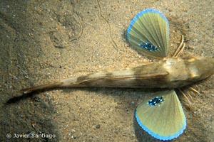 Chelidonichthys lucerna